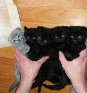 Шотландские котята не дорого