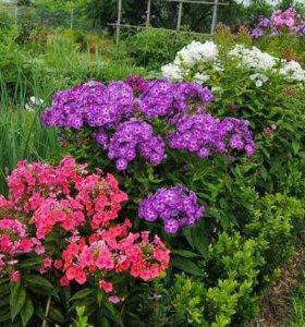 Цветы и кустарники для дачи.