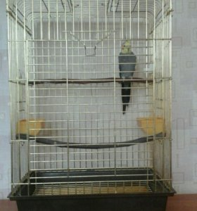 попугай корелл