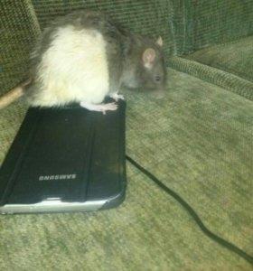 Домашния крыса мальчик зовут кирюша