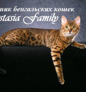 Бенгальский кот с родословной