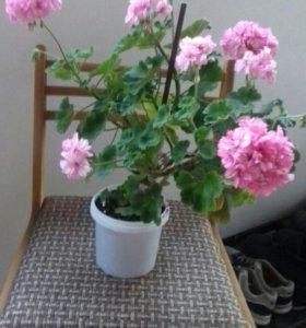 Герань розовая