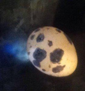 Перепелиные яйца. 10 штук.