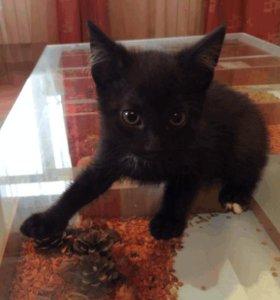 Грациозные маленькие пантеры! Черные котята. 2 месяца.