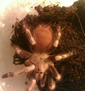 брахипельма альбопилосум, нанду хроматус пауки 6см