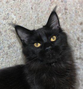 Срочная продажа котят гигантской породы Мейн кун.