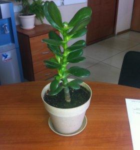 Толстянка (денежное дерево)
