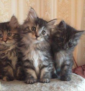 Продажа котят(Курильский Бобтейл).