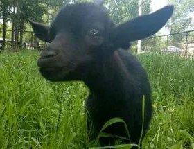 Продаю дойную козу с козленком!!!