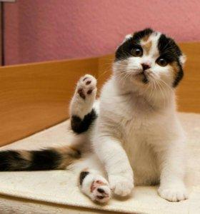 Кошка , скоттиш фолд.