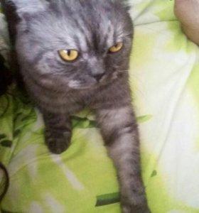 Вязка. Шотландский кот.