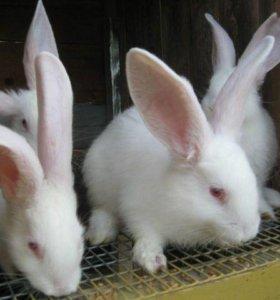 Кролики калифорницы