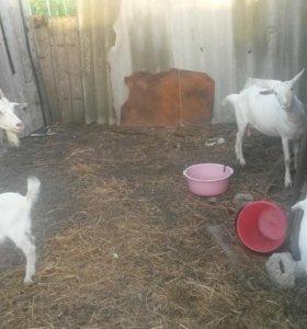 продам коз..две дойные..козлятам по два месяца.