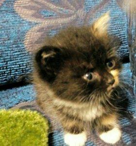Котята. Отдам. Серый и два трехшерстные.