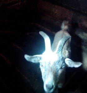Продам козу