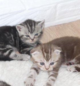 Шотландские чистокровные котята
