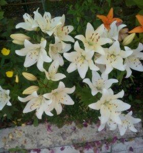 Лилии (разные) и Ромашка садовая (крупная)
