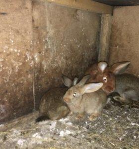 Распродажа Кролики мясных пород