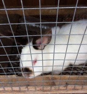Кролики чистокровные