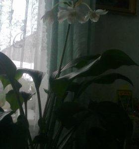 Амазонская лилия, эухарис