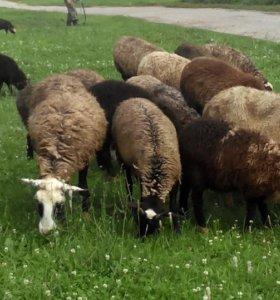 Овцы и бараны Романовской породы.