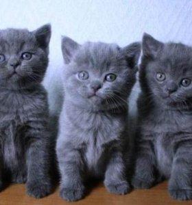 голубые плюшевые британчики