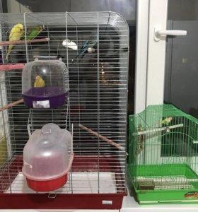 Попугай 4 шт и 2 клетки