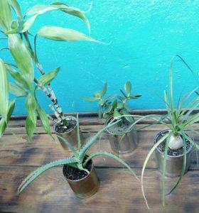 Бутылочное дерево, красула,алоэ,бамбук,хлорофитум