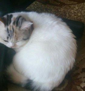 Кошка Шотландская.