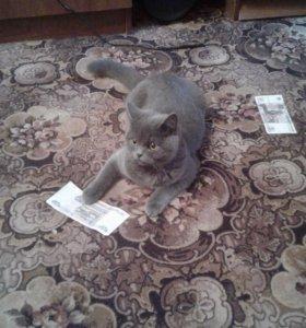 Кошка (Британская, короткошёрстная)