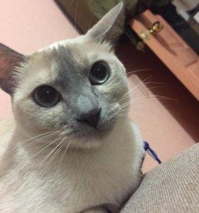 Кошка бурманская