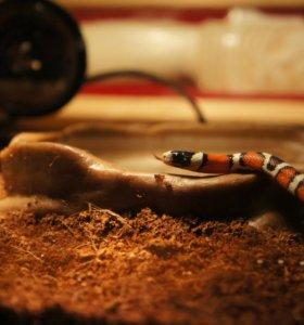 Молочная змея Синалойская с террариумом