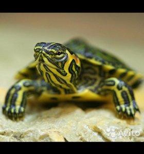 Черепаха желтоухая