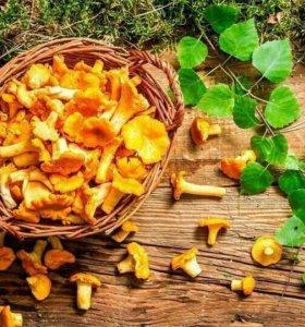 Продам грибы лисички оптом