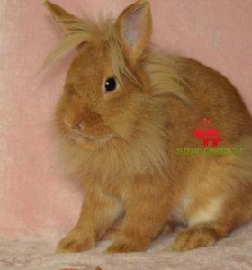 Львиноголовый карликовый кролик