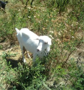 Коза и козлята