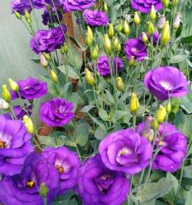 Цветы Эустома на срез