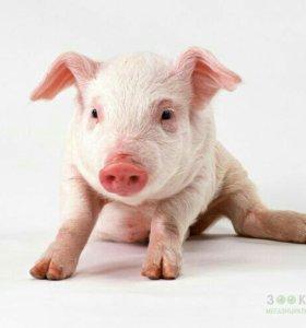 Домашнее мясо(свинина)