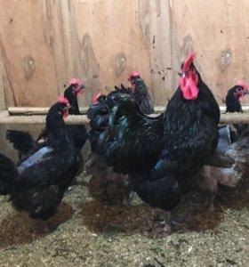 Яйцо инкуб. и цыплята от породистых кур