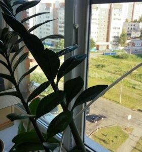 Комнатные растения денежное дерево