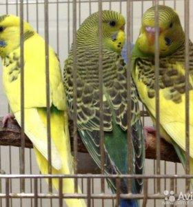 Птенцы волнистика