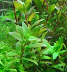 Незея трифлора (Nesaea triflora)