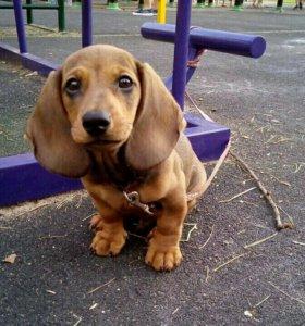 Продаю щенка таксы
