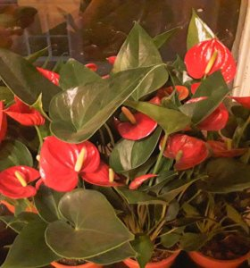 Цветы-Антуриум и Спатифиллум