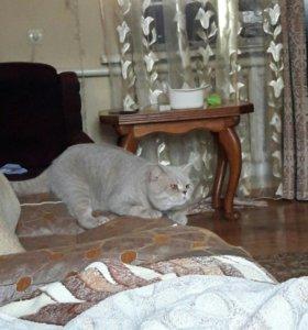 Кот на вязку и его котята