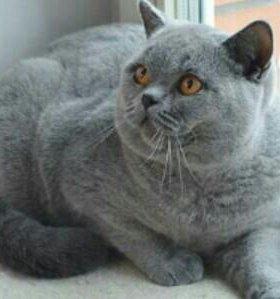 срочно отдам британского кота бесплатно