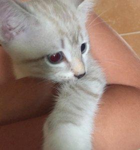 Котята рыжие и тайские