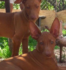 Фараонова собака - щенок