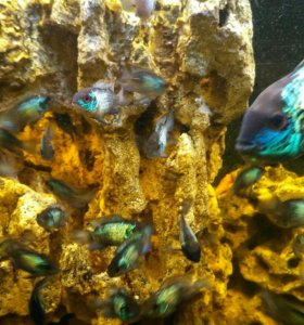Аквариумная рыбка Наннакара, молодь