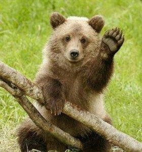 Медвежья желчь (продам)